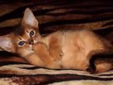 Кішки, кошенята Абіссінська, ціна 6000 Грн., Фото