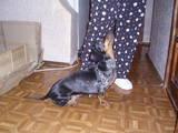 Собаки, щенята Довгошерста такса, ціна 400 Грн., Фото