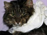 Кішки, кошенята Сибірська, ціна 10 Грн., Фото