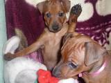 Собаки, щенки Пинчер, цена 3000 Грн., Фото