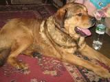 Собаки, щенята Іспанська мастіф, ціна 1000 Грн., Фото