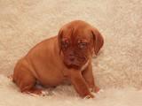Собаки, щенки Бордосский дог, цена 3900 Грн., Фото