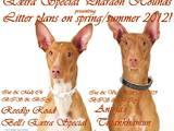 Собаки, щенки Фараонова собака, цена 10000 Грн., Фото