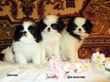 Собаки, щенята Японський хіни, ціна 4800 Грн., Фото