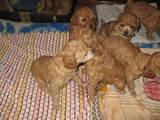 Собаки, щенята Карликовий пудель, ціна 800 Грн., Фото