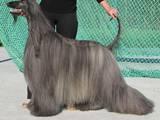 Собаки, щенята Афганська хортиця, ціна 8000 Грн., Фото