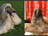 Собаки, щенки Афганская борзая, цена 8000 Грн., Фото