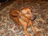 Собаки, щенята Родезійського ріджбек, ціна 12345 Грн., Фото