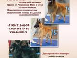 Собаки, щенята Бельгійська вівчарка (Грюнендаль), ціна 5000 Грн., Фото