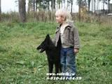Собаки, щенки Бельгийская овчарка (Грюнендаль), цена 5000 Грн., Фото
