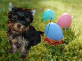 Собаки, щенята Йоркширський тер'єр, Фото