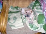 Собаки, щенята Шарпей, ціна 1100 Грн., Фото