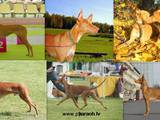 Собаки, щенки Фараонова собака, цена 1400 Грн., Фото