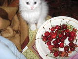 Кішки, кошенята Турецька Ангора, Фото