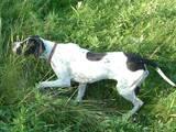 Собаки, щенки Ризеншнауцер, цена 5000 Грн., Фото