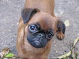 Собаки, щенята Брабантський гріффон, ціна 1000 Грн., Фото