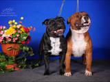 Собаки, щенята Стаффордширський бультер'єр, ціна 1 Грн., Фото