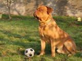 Собаки, щенки Бордосский дог, Фото