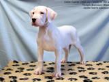 Собаки, щенки Аргентинский дог, цена 10000 Грн., Фото