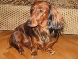 Собаки, щенки Длинношерстная такса, цена 3000 Грн., Фото