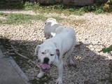 Собаки, щенки Американский бульдог, цена 5 Грн., Фото