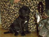 Собаки, щенята Мастіно неаполетано, ціна 4500 Грн., Фото