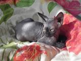 Кошки, котята Канадский сфинкс, цена 2600 Грн., Фото