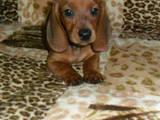 Собаки, щенки Гладкошерстная такса, цена 350 Грн., Фото