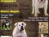 Собаки, щенки Американский бульдог, цена 6400 Грн., Фото