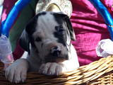 Собаки, щенки Немецкий дог, цена 10780 Грн., Фото