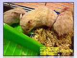 Грызуны Хомяки, цена 15 Грн., Фото