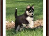 Собаки, щенята Сибірський хаськи, Фото
