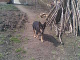 Собаки, щенята Карликовий пінчер, ціна 1500 Грн., Фото