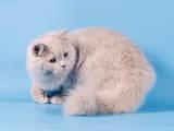 Кішки, кошенята Британська довгошерста, ціна 2500 Грн., Фото