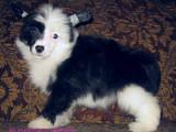 Собаки, щенки Австралийский шелковистый терьер, цена 1000 Грн., Фото