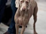 Собаки, щенки Веймарская легавая, цена 6500 Грн., Фото