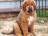 Собаки, щенки Тибетский мастиф, цена 20000 Грн., Фото