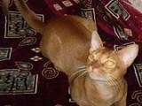 Кошки, котята Абиссинская, цена 4000 Грн., Фото