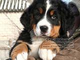 Собаки, щенята Гірський собака Берна, ціна 7000 Грн., Фото