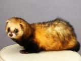 Животные Экзотические животные, цена 1300 Грн., Фото