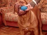 Собаки, щенки Бордосский дог, цена 7800 Грн., Фото