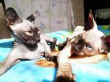 Кошки, котята Канадский сфинкс, цена 2400 Грн., Фото