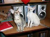 Кошки, котята Ориентальная, цена 2900 Грн., Фото