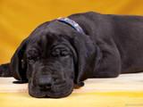 Собаки, щенки Немецкий дог, цена 10000 Грн., Фото