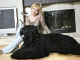 Собаки, щенята Чорний тер'єр, ціна 100 Грн., Фото