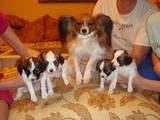 Собаки, щенки Папильон, цена 1 Грн., Фото