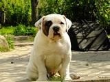 Собаки, щенята Американський бульдог, ціна 5600 Грн., Фото