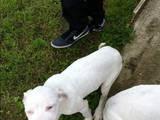 Собаки, щенки Аргентинский дог, цена 7000 Грн., Фото