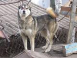 Собаки, щенки Восточно-Сибирская лайка, цена 1200 Грн., Фото