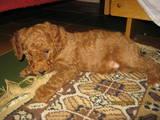 Собаки, щенята Той-пудель, ціна 1000 Грн., Фото
